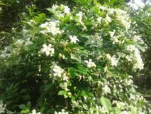 白花在庭院里 免版税图库摄影