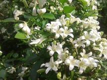 白花在庭院里 库存照片