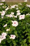 白花在庭院里 免版税库存图片
