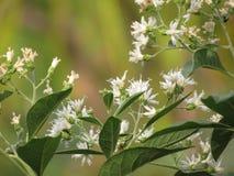 白花在树兴旺在庭院里 Vernonia树、苦涩叶子、南chao韦& x28; 中国name& x29;是医药 库存照片
