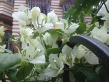 白花在清早 免版税库存图片