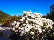 白花在狂放调遣在开普角附近 库存图片