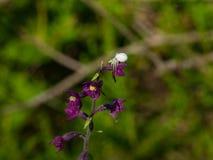 白花在紫色兰花宏观画象,选择聚焦,浅DOF的螃蟹蜘蛛 免版税库存照片