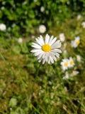 白花在绿色草坪 图库摄影