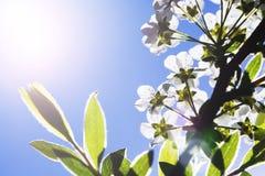白花在美好的早晨点燃与关闭在瓣 免版税库存图片
