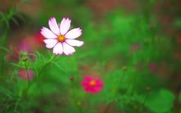 白花墨西哥翠菊或波斯菊瓣有桃红色边缘开花在早晨庭院里的样式和黄色花粉的 免版税库存照片