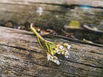 白花小树枝在木背景的 免版税图库摄影