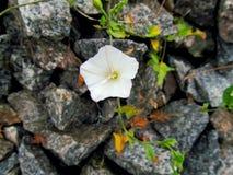 白花旋花植物arvensis 免版税库存图片