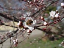 白花日本人樱桃 库存图片