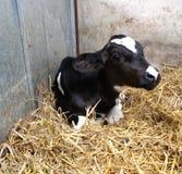 黑白花的小牛 库存图片