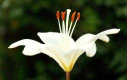 白花的百合属植物侧视图candidum 免版税图库摄影