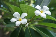 白花看非常美丽在庭院里 免版税库存图片