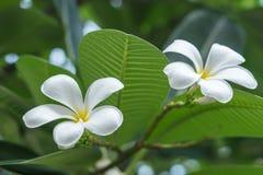 白花看非常美丽在庭院里 免版税库存照片
