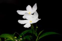 白花美好的背景与 免版税库存照片