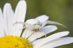 白花螃蟹蜘蛛在雏菊的Misumena vatia 库存照片