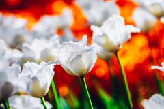 白花郁金香在春天庭院里 免版税库存图片