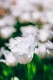 白花郁金香在春天庭院里 库存图片