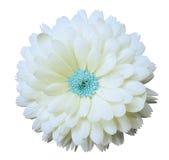 白花金盏草 白色与裁减路线的被隔绝的背景 库存图片
