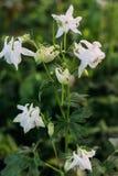 白花集水量在庭院里 免版税库存照片