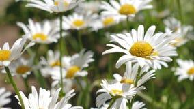 白花震动在summerfield的风 美丽的雏菊花在草甸的春天 花事务 股票视频