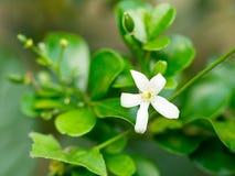 白花,橙色Jessamine花 甜气味花为做香水 免版税库存图片