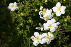 白花,特写镜头 库存图片