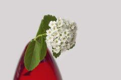 白花, spirea特写镜头,在红色花瓶 库存图片