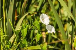 白花Calystegia sepium 免版税图库摄影