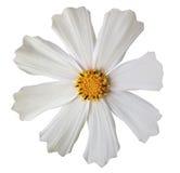 白花kosmeya,白色隔绝了与裁减路线的背景 特写镜头 库存照片
