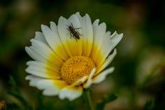 白花wiith昆虫 库存照片