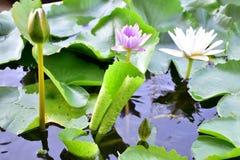 白莲教和紫色莲花 免版税库存图片