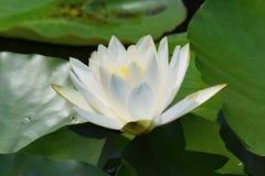 白莲教在日本池塘 免版税图库摄影
