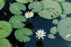 白莲教在荷花池在一个晴天 库存图片