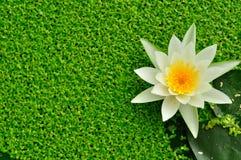白莲教在水中有背景是绿色的, 免版税库存照片