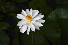 白莲教花卉生长在池塘 库存图片