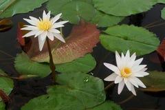 白莲教花和桃红色莲花意味纯净和热爱 图库摄影