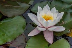 白莲教花在池塘 免版税库存照片