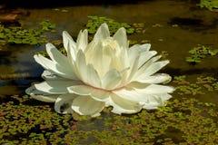 白莲教花在池塘 免版税库存图片