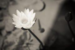 黑白莲花 库存图片