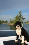 黑白葡萄牙水猎狗有在backg的湖视图 库存照片