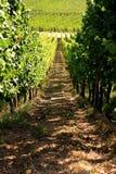 白葡萄酒葡萄园在阿尔萨斯 免版税库存照片