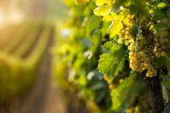 白葡萄酒葡萄在葡萄园里 免版税库存照片