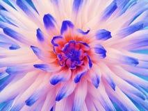 白蓝色红色大丽花的花 瓣色的光芒 特写镜头 在绽放的美丽的大丽花设计的 免版税库存图片