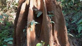 白蚁大巢在森林里 影视素材