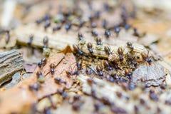 黑白蚁撤出到一个新的地方 免版税库存照片