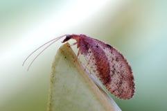 白蛉或草蜻蛉 免版税库存图片