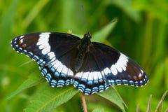 白蛱蝶 图库摄影