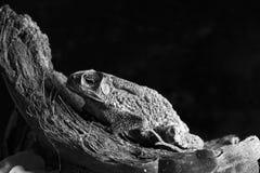 黑白蟾蜍 库存图片