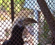 白被加冠的犀鸟 免版税库存图片