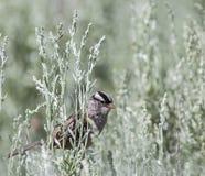 白被加冠的麻雀麻雀leucophrys 免版税库存照片
